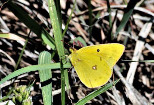 Orange Sulphur Butterfly Close-up