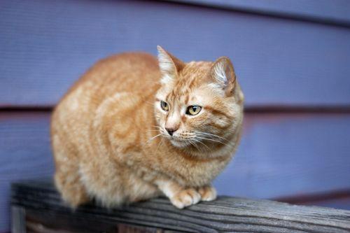 orange tabby cat fence