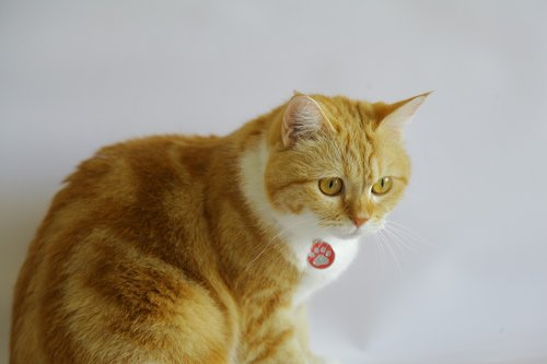 orange tabby  kitten  cat
