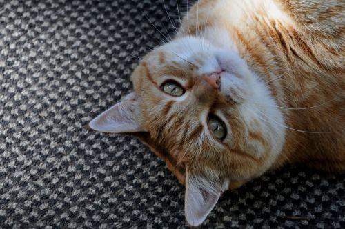 Orange Tabby Kitty