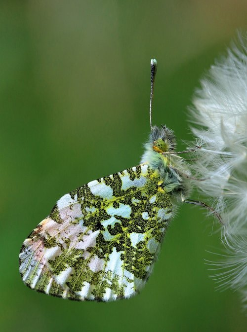orange tip butterfly  insect  orange-tip