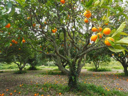 orange tree orange grove plantation