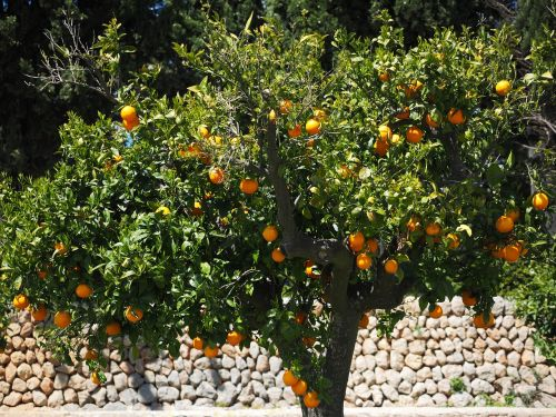 orange tree orange grove plantation
