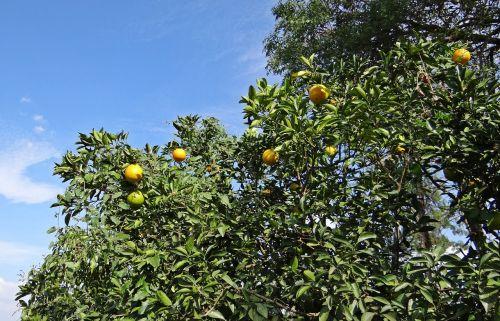 orange tree orange fruit
