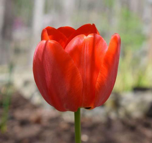 orange tulip parrot tulip tulip
