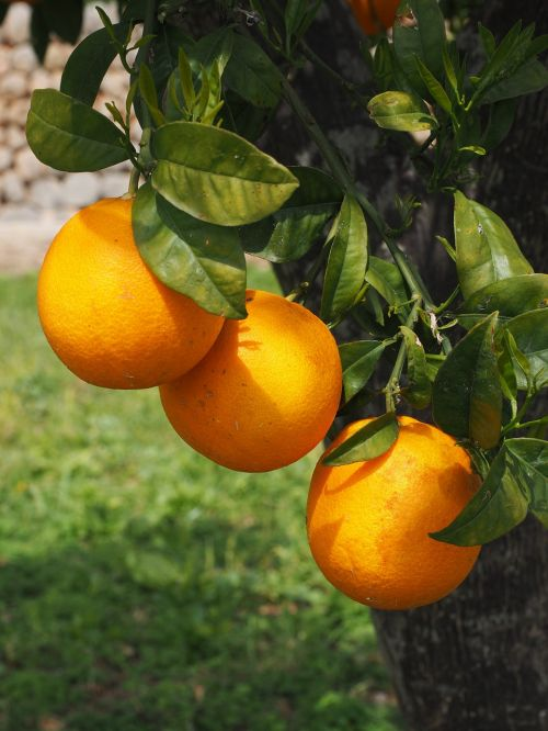 oranges fruits orange tree