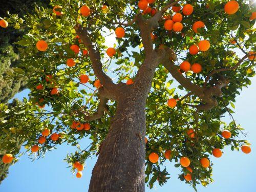 oranges log tribe
