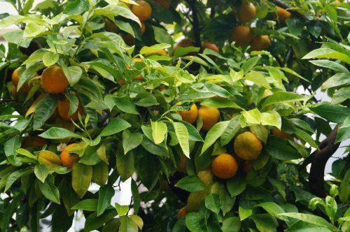 oranges plant botany
