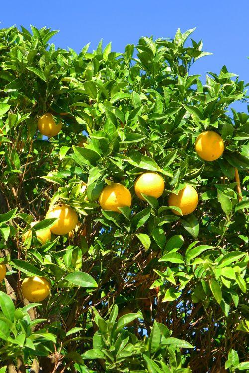 oranges tree algarve