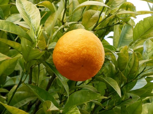 oranges  fruits  orange tree