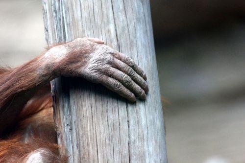 orangutan hand brush