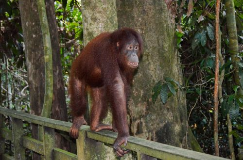orangutan ape primate