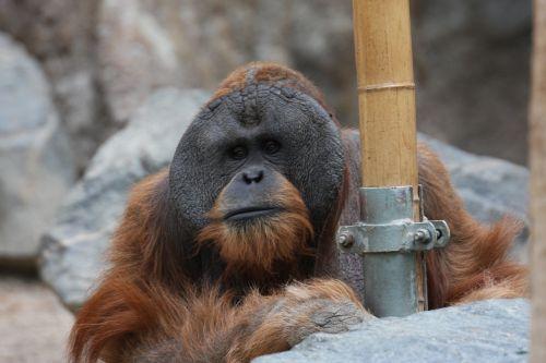 orangutan monkey zoo