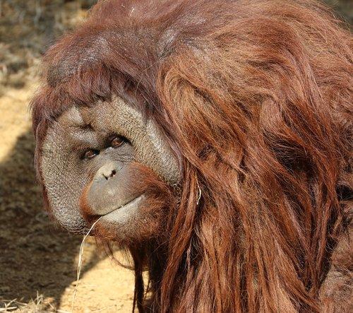 orangutans  animal  boss