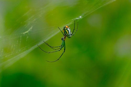 orb-weaver  spider  nature