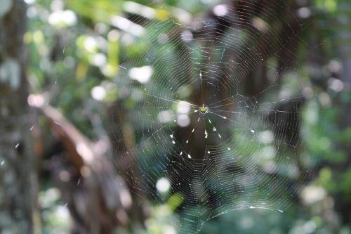 Orbweaver Crab Spider