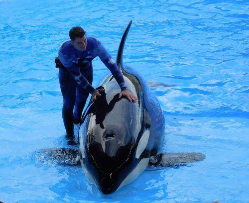 orca killer whale show