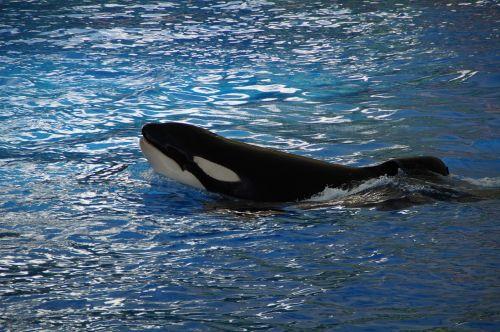 orca wal killer