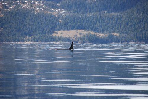 orca alaska whale