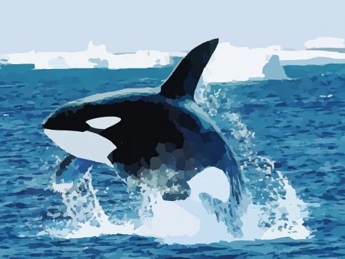 orca killer whale whale