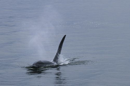orca whale killer whale