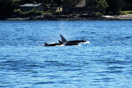 orca  wal  killer whale