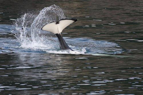 orca  tail bobbing  breaching