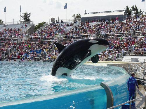 orca whale show