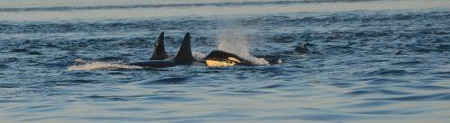 orca killer whale ocean