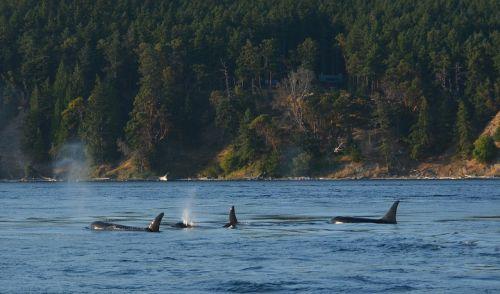 orca pod killer whale