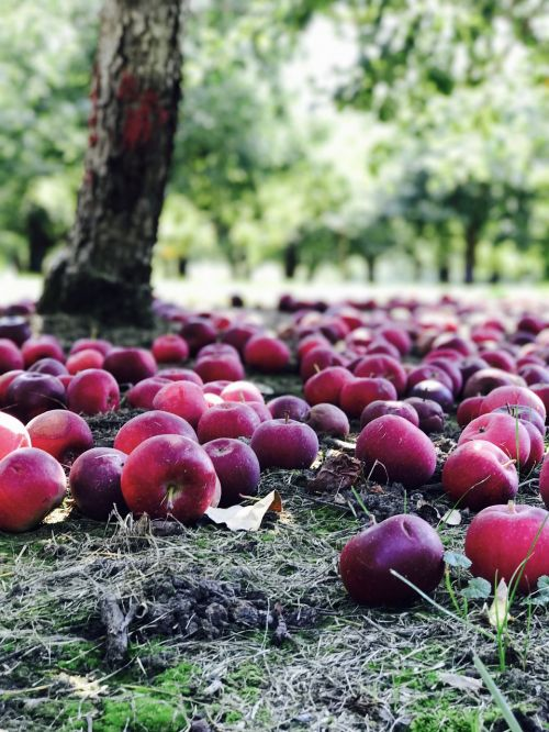 orchard apples red
