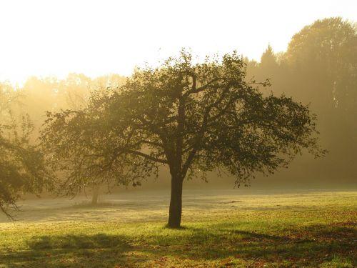 orchard apple tree tree