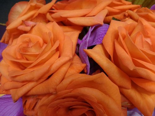 orchards roses orange