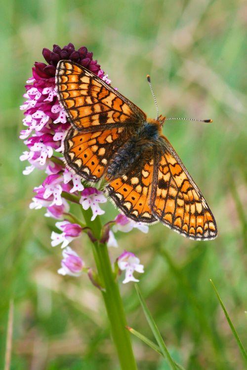 orchidėja,drugelis,gėlės