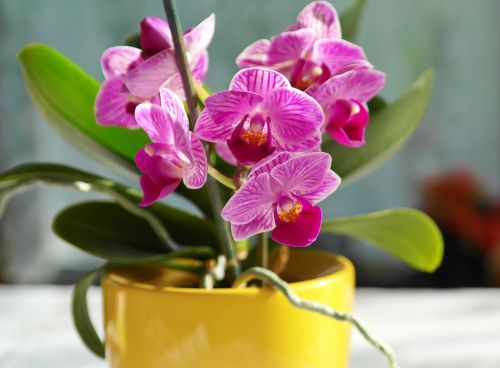 orchid flower pink