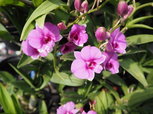 orchid thai orchid purple