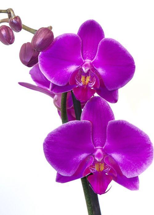 orchid phalaenopsis pink