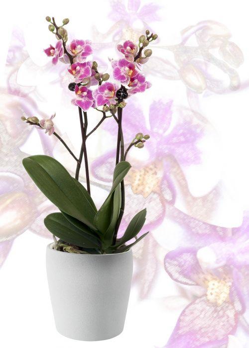 orchid phalaenopsis yellow