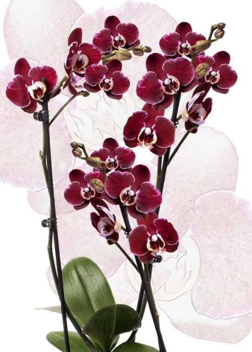 orchid phalaenopsis red