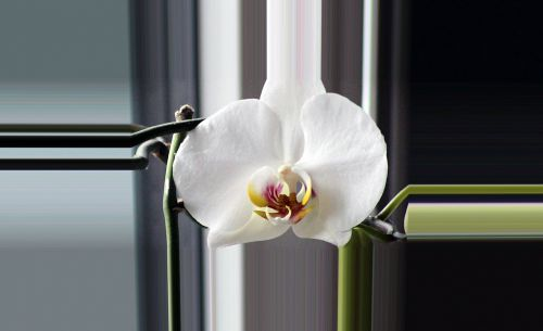 orchid blossom bloom