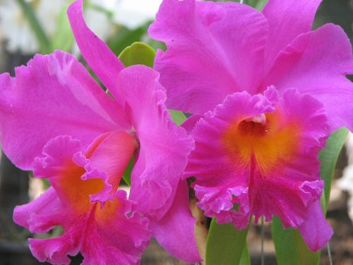 orchid flowers pink