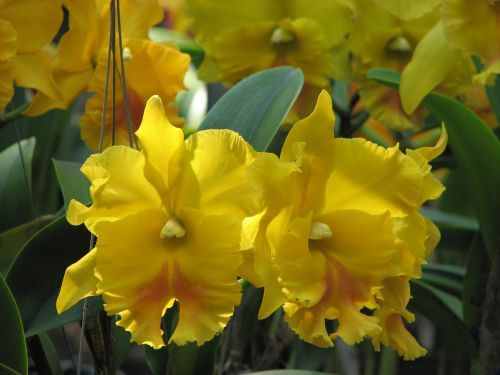 orchid flowers yellow
