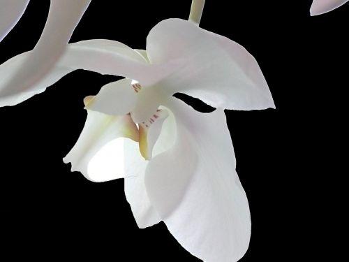 orchidėja,balta,gėlė,žiedas,žydėti,balta violetinė,laukinė orchidėja,balta orchidėja,augalas,orchidėjų pieva,juoda ir balta,baltas žiedas