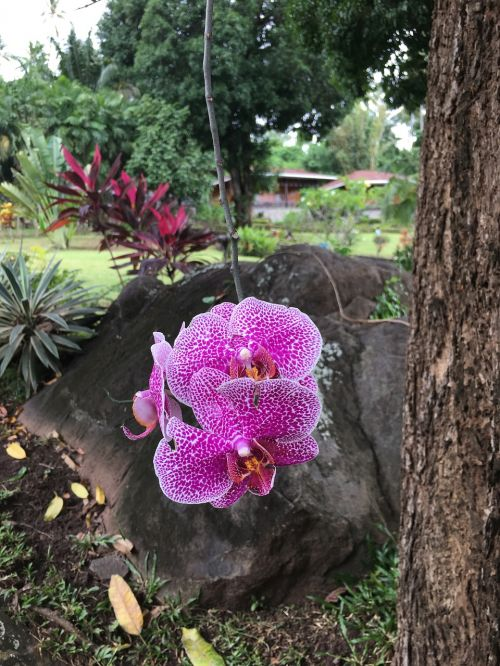 orchidėja,gėlės,žiedas,gamta,sodas,egzotiškas