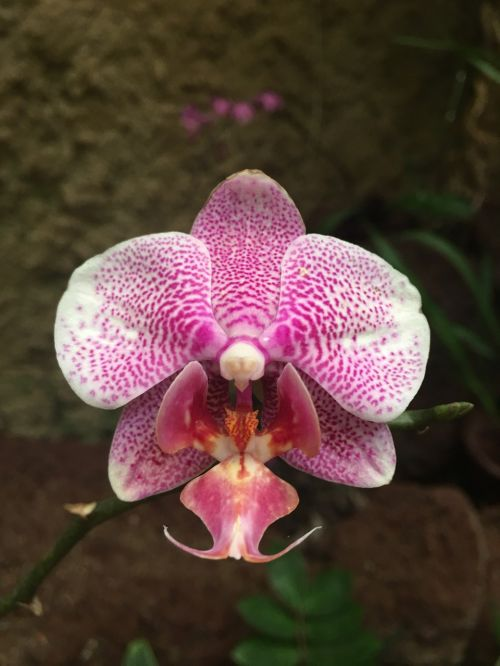 orchid pink individually