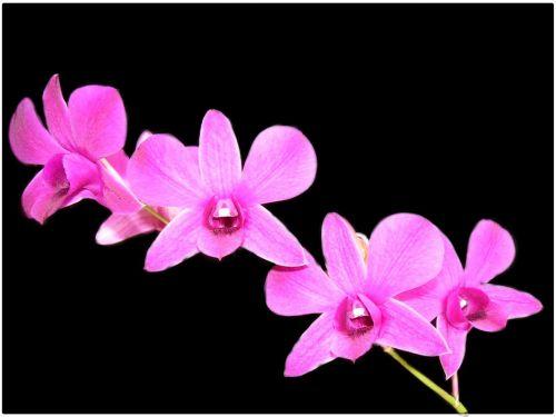 Orchid Flower Mosquito Orange Laeliocattleya Trick Or