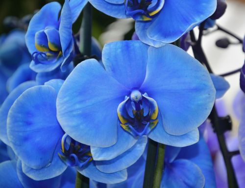 orchid flower blue
