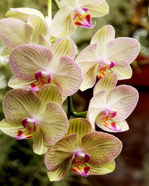 orchidėja,balta,gėlė,gamta,žiedlapis,augalas,žiedas,natūralus,botanikos,žydėti,Naujasis Džersis,rožinis