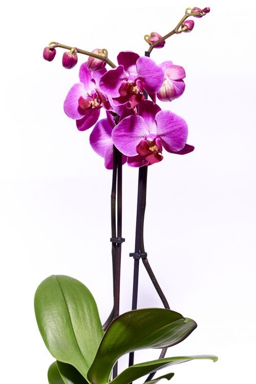 orchid flower violet