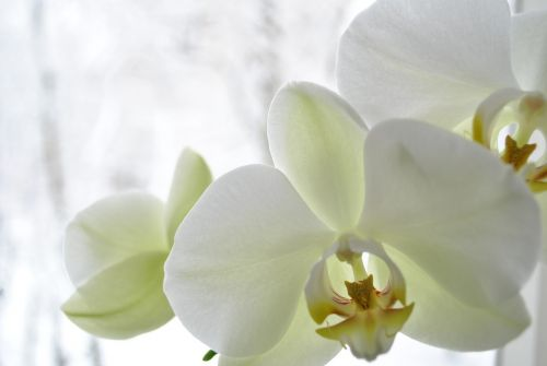 orchid tenderness freshness